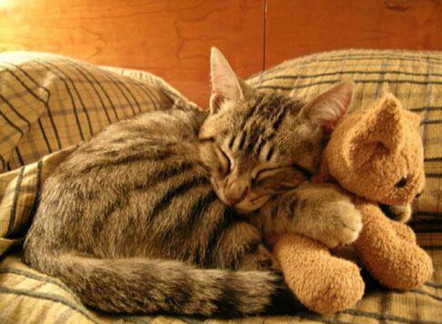 Aww! Cute!Sleepy Time, Funny Cat Photos, Epic Meals Time, Teddy Bears, Naps Time, Cuddling Buddy, Kittens, Kitty, Animal