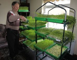 It was over four years ago when Danny McDonald of Dunaff, Ireland, was diagnosed with stage 4 stomach cancer.  By that time, the cancer had spread throughout his body and he was given only 3 months to live. Danny chose not to use the chemotherapy recommended by doctors and began to grow and juice wheatgrass instead. Within one month his pain was gone and he reports that he was able to fully heal from the disease.