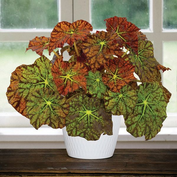 Begonia Amelia S Kaleidoscope Begonia Rhizomatous Hybrid For Sale In 2020 Begonia Cool Plants Plants