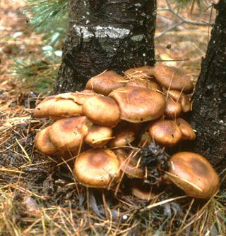 Honey Mushrooms Armillaria ostoyae, the largest known organism on Earth. The eruptions you see on the surface hide an area covering 1,665 football fields underground.