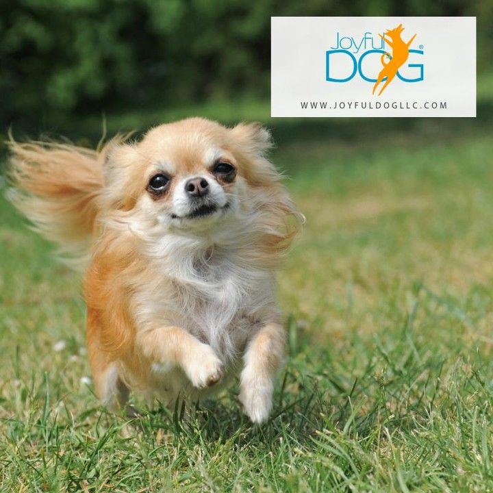The American Kennel Club Describes Chihuahuas As The Chihuahua Is