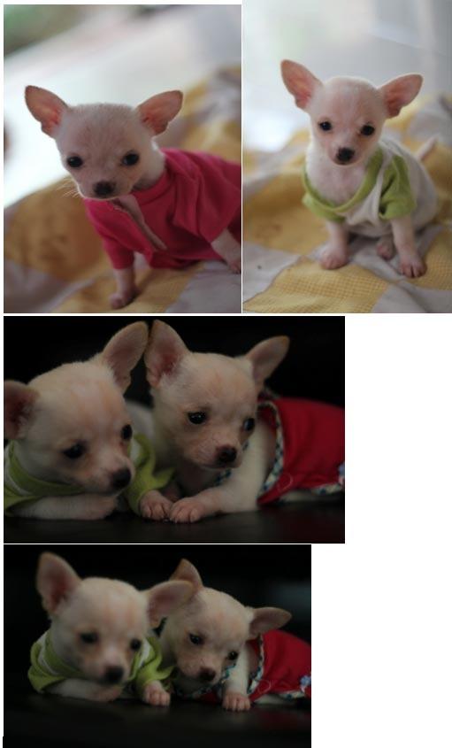 Jual Anjing Chihuahua Jantan - Iklan Anjing Dijual - AnjingDijual.BIZ (AnDiZ)