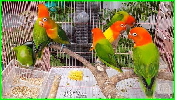 97  Gambar Burung Lovebird Yg Mahal HD Terbaik Gratis