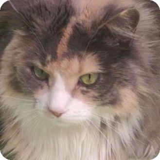 Denver, CO - Domestic Longhair. Meet Sofia, a cat for adoption. http://www.adoptapet.com/pet/13543913-denver-colorado-cat