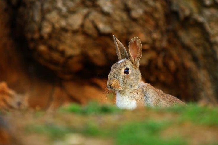 Nielegalne króliki