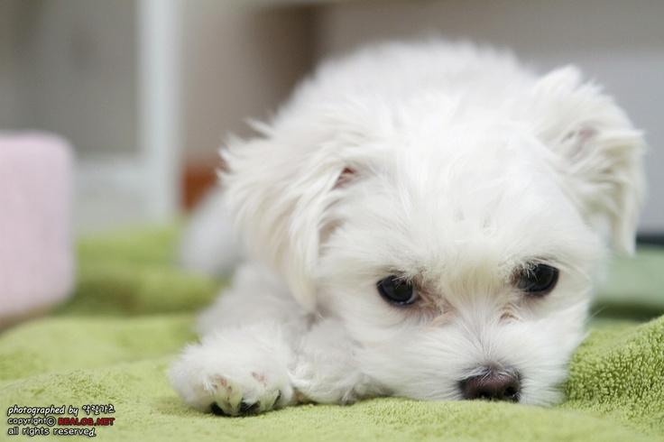 말티즈 강아지 꼬미