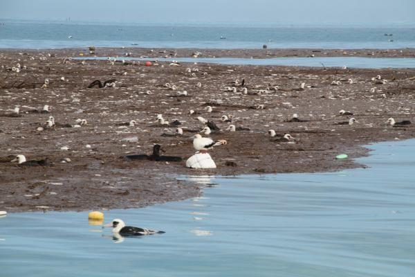 Injured Albatross