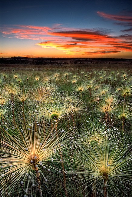 PAEPALANTHUS WILD FLOWER -Sunset...Beautiful