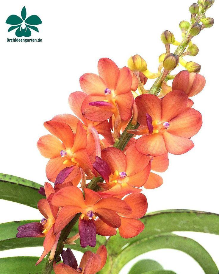Ascocentrum curvifolium x Rhycoelestis #orchids #Orchidee #Orchideen #OrchIDEENgarten #orquídea #orquídeas #orchidées #orchidée #orchidej #orchideje #orkid #orkidéer #storczyki #storczyk #nature...