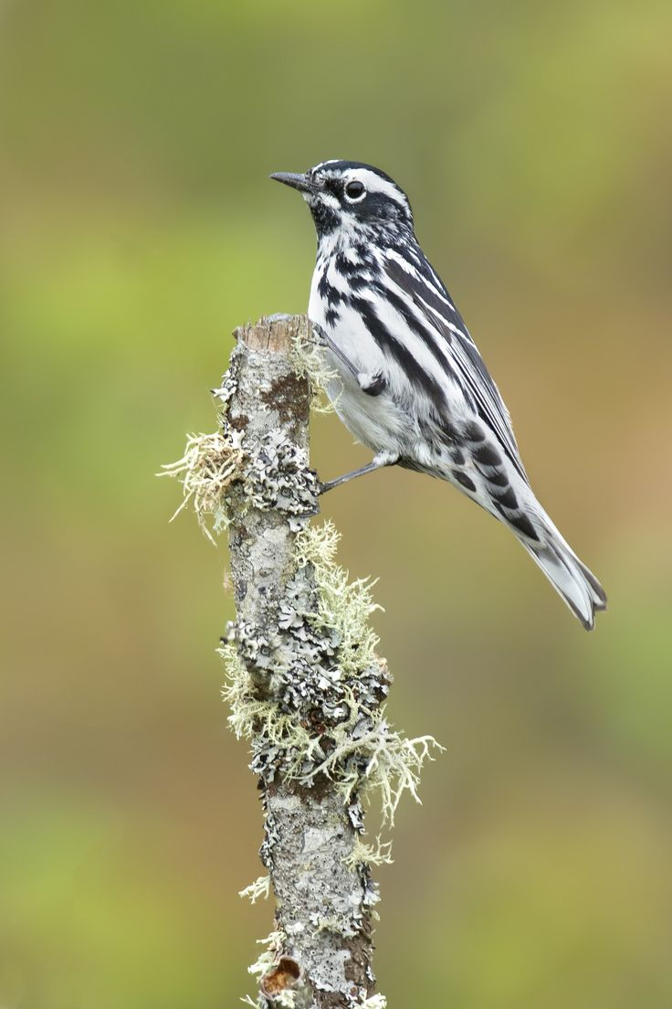Black And White Warbler Michigan In 2021 Beautiful Birds Wild Birds Black And White