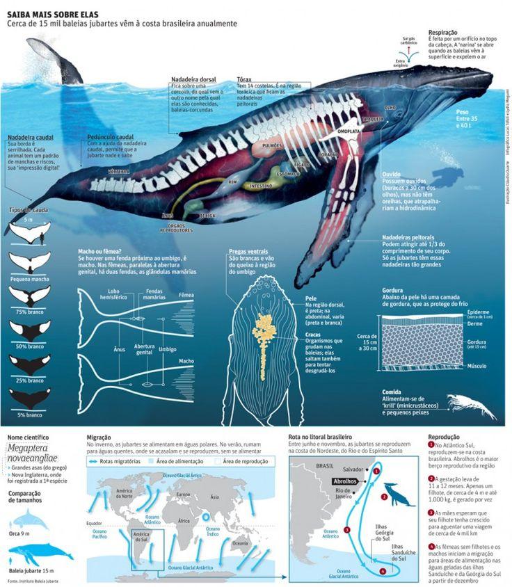 Humpback whale anatomy