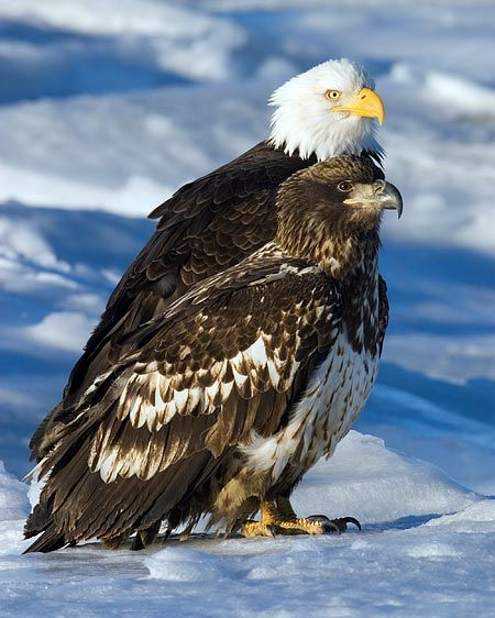 The Bald Eagle mainly eats fish like Salmon and Catfish. Description from…
