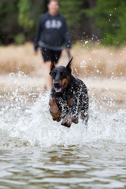 Who says Dobermans don't like water?