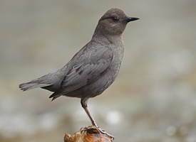 The American Dipper, a songbird that can walk underwater!