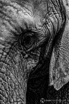 Elefant im Zoo Erfurt schwarzweiß