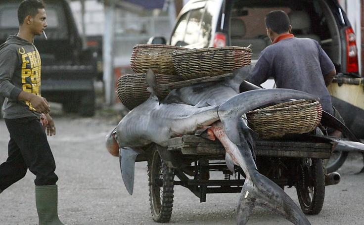 Trabalhador transporta dois tubarões em carroça em Banda Aceh, Sumatra (Indonésia); O comércio de barbatanas do peixe e a conservação das espécies de tubarão são temas da reunião da Convenção sobre o comércio internacional de espécies ameaçadas de fauna e flora silvestres
