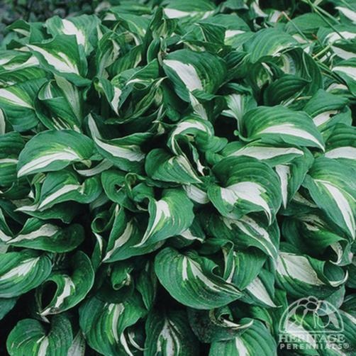 """Hosta 'Undulata Albomarginata' - Height 16-18"""". Spread 31-39"""", Full-part shade, zones 3-9. This medium-sized heirloom selection has dark-green leaves streaked with lighter green, and a wide creamy-white margin. Lavender flowers appear in July. Great for massing or edging."""