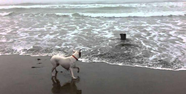 Tijdens een spelletje apporteren met zijn baasje belandde de tennisbal van deze boxer in het water. De viervoeter twijfelde geen moment en liep onmiddellijk de zee in, maar stootte daar op een nieuw vriendje….