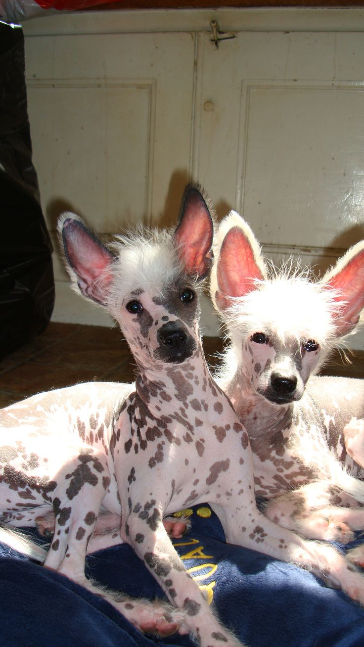 Chien Chinois Nu (Chinese Crested Dog) - Chiens de compagnie - Chiens ...