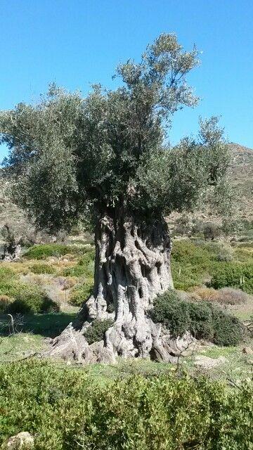 Ancient olive Aegina Greece