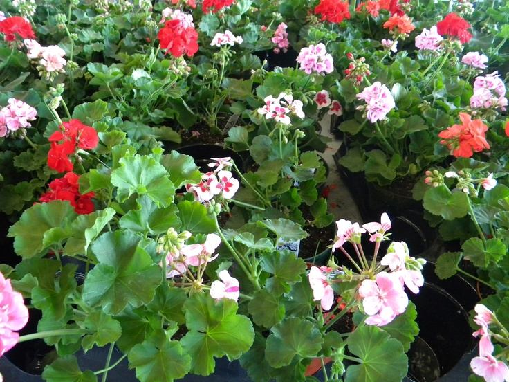 Geraniums at the Greensboro Farmers Market #GSO BentTuba.com
