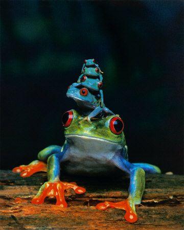Blue Tree Frogs