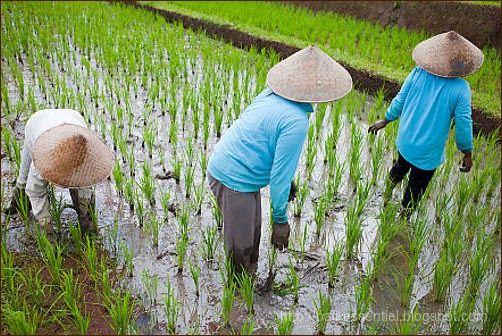 Repiquage et désherbage du riz  #voyage_bali #bali_rizieres #rizieres_en_terrasse
