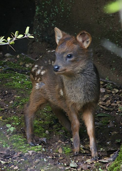 A baby Pudu, the world's smallest species of deer, recently made his debut at the UK's Bristol Zoo Gardens.