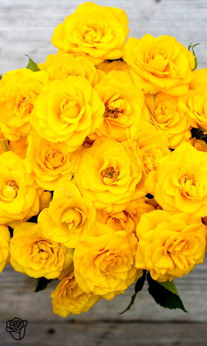Yellow Spray 'Frisco'd' roses.