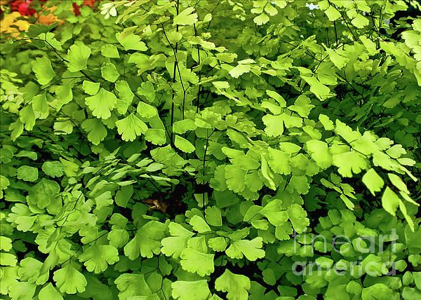 Sometimes the leaves of a plant can be more interesting than flowers. Maidenhair Fern by Kaye Menner Photography Quality Prints Cards Products at > https://kaye-menner.pixels.com/featured/maidenhair-fern-kaye-menner.html