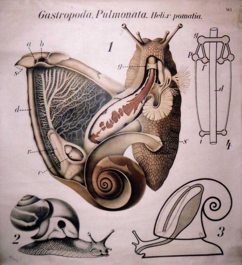 Gastropoda Pulmonata, Helix Pomatia (Anatomy of the Roman Snail) ca.1890s