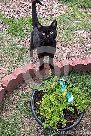 Black cats are domestic cats with black fur that may be a mixed or specific breed. The Bombay breed is exclusively black. All black fur pigmentation is slightly more prevalent in males than female cats. The high melanin pigment content makes most black cats to have yellow or golden eyes. A cat having black fur with white roots is known as a `black smoke`.