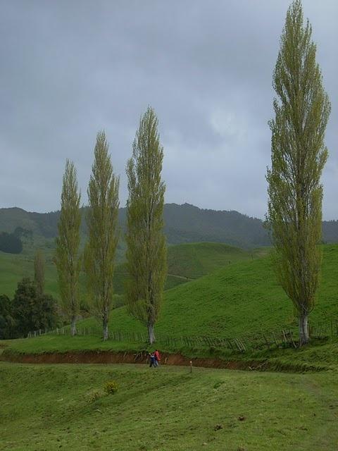 row of poplar trees :)