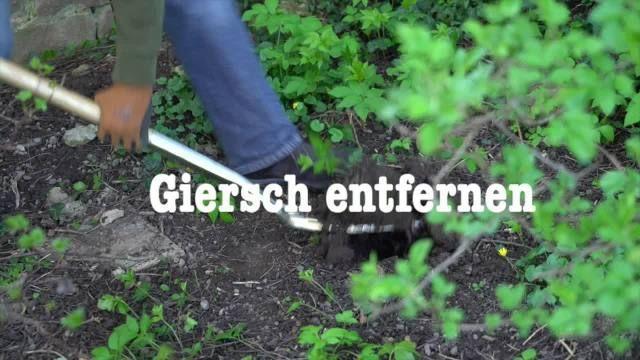 Kaum ein Unkraut im Garten ist so hartnäckig wie der Giersch. So verbannen Sie die lästige Pflanze erfolgreich aus Ihrem Garten.