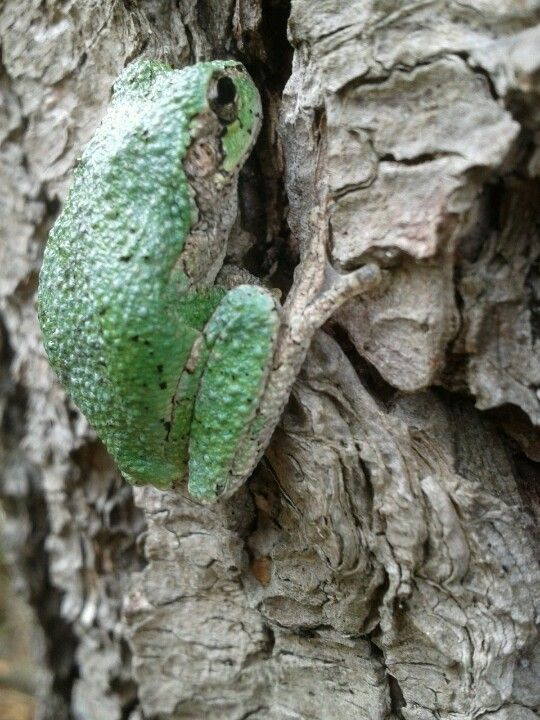 tree frog Tweed Ontario