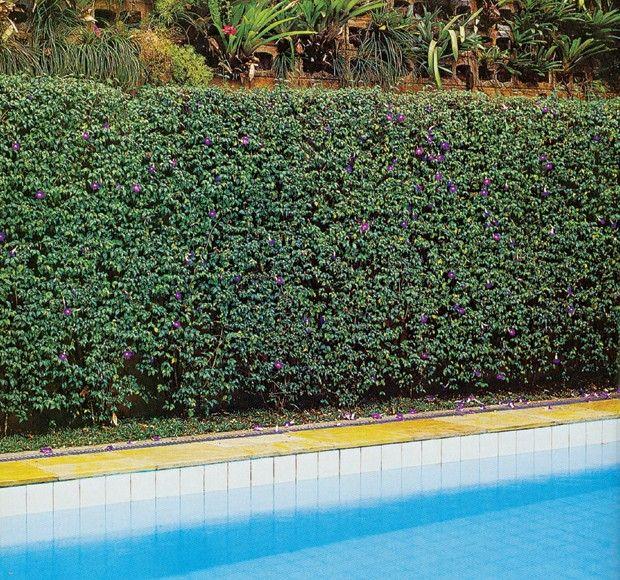 cerca-viva-tumbergia-arbustiva (Foto: Marcello Palhais / Editora Globo)
