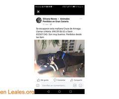 Se busca a dos perros raza gran danes  #Perdido #Encontrado #sebusca #extraviado #LealesOrg  Contacto y info: Pulsar la foto o: https://leales.org/perdidos-o-encontrados/perros-perdidos/se-busca-a-dos-perros-raza-gran-danes_i2640 ℹ  Hoy 02/01/18 se han escapado dos perros que son hermanos y tienen microchip. De raza Gran Danés. Zona cruce Arinaga en Gran Canaria. España.  María: 696090662. Santi: 652631243    Acerca de esta publicación:   Esta publicación NO ha sido creada por Leales.org y…