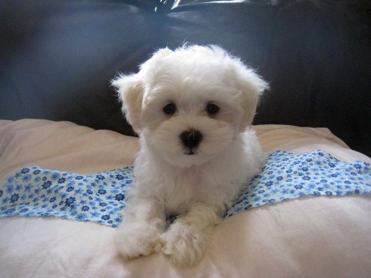 Yorkiepoo (Yorkshire TerrierPoodle Mix) Info, Temperament