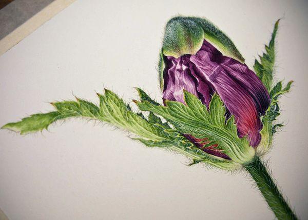 Oriental Poppies - Botanical Portrait by Eunike Nugroho