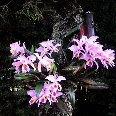 #Sabiasque toda orquídea posee una simetría bilateral (como el rostro humano), por lo cual, si trazamos una línea vertical exactamente en el medio de la flor, se forman dos imágenes simétricas idénticas. #PosadaAltoViento #Lara #PosadasdeVenezuela #Venezuela #Turismo #Hospedaje #Love
