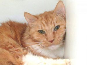 DEATH ROW CATS 1/27/18 !!! SHARE !!! 10 yo healthy *** TO BE DESTROYED 01/27/18 *** NAIROBI is 10 years old and was dumped by owner at the shelter. He needs follow up dental care and a general vet check for his health. Please give this sweet orange boy a furever home asap.