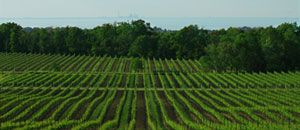 DID YOU KNOW?... The Niagara Peninsula boasts over 32 thriving varietals* across 13,600 acres!   *a varietal is a wine made principally from one grape variety and carrying the name of that grape on the label.