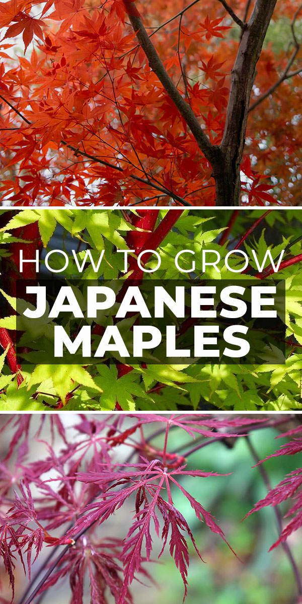 How To Grow Japanese Maples The Garden Glove Japanese Maple Garden Japanese Maple Tree Landscape Japanese Maple
