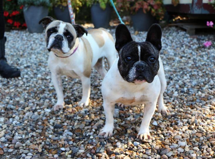Annie Dolly Animals Bulldog French Bulldog