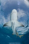 Shark Pictures - images of sharks and rays including pictures of great white sharks, tiger sharks, hammerheads and more.