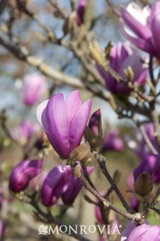 Purple Lily Magnolia  Magnolia liliiflora 'Nigra' - Slow growing to 6 to 10 ft. high, 4 to 8 ft. wide.