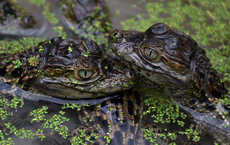 IlPost - Caimani appena nati allo zoo di Rio de Janeiro (VANDERLEI ALMEIDA/AFP/Getty Images) - Caimani appena nati allo zoo di Rio de Janeiro (VANDERLEI ALMEIDA/AFP/Getty Images)