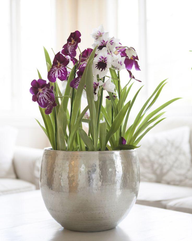 "Miltonia orkidé eller ""Stemorsorkidé"""