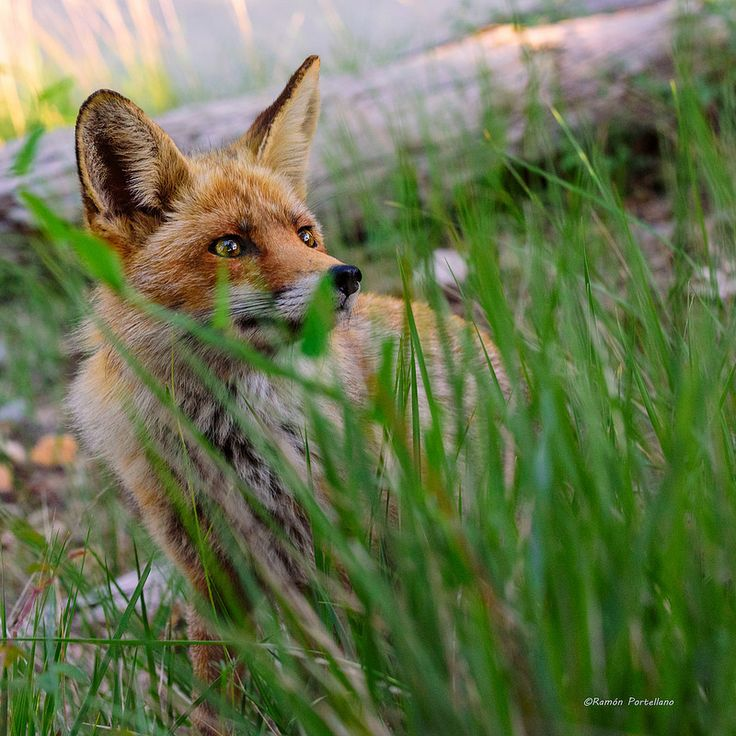 Five adorable facts about foxes   Animals. Wildlife.