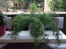 https://www.wikihow.com/Care-for-an-Asparagus-Fern